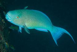 BD-130711-Maldives-0263-Scarus-rubroviolaceus.-Bleeker.-1847-[Ember-parrotfish].jpg